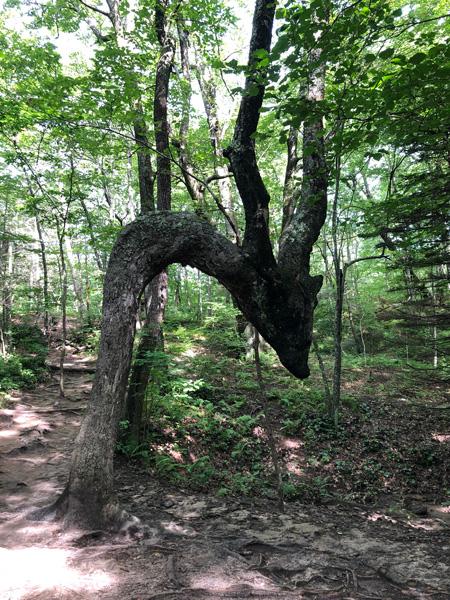 Dragon Tree at Skinny Dip Falls