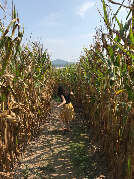 Corn Maze At Stepp's Hillcrest Orchard Hendersonville NC with brunette white woman in a yellow skirt and black top lost in a corn maze