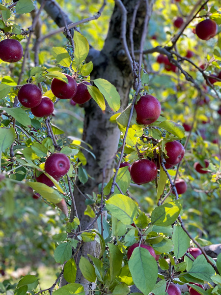 Coston Apple Farm Hendersonville NC with apple orchard tree with red Rome apples
