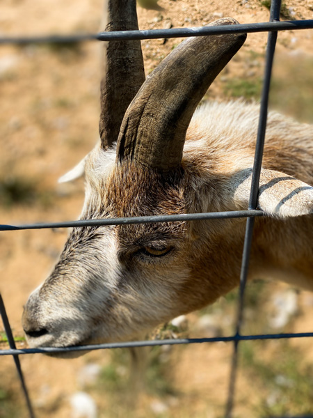 Sky Top Orchard Goat with wire fence