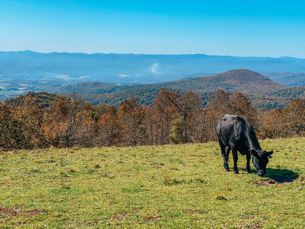 Easy Hiking Trails Near Asheville Bearwallow Mountain Trail with black cow grazing in a meadow