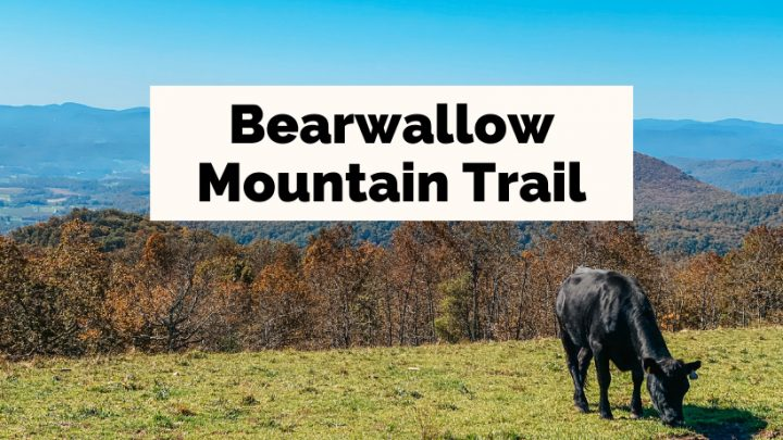 Bearwallow Mountain Trail North Carolina with black cow and view of mountains