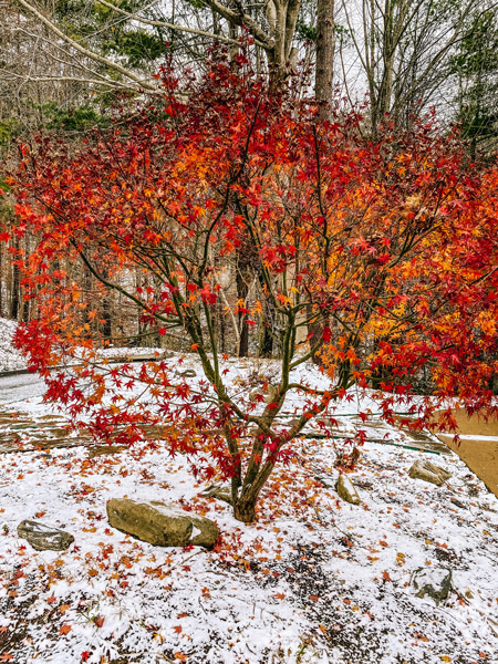 Asheville snow in winter with red and orange tree and snow