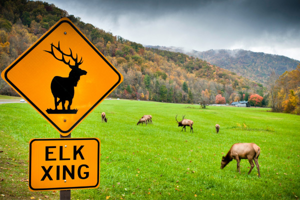 Elk at Oconaluftee Visitor Center Smoky Mountains with elk grazing in a field and fall foliage