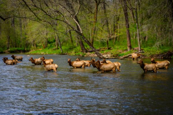 14 Elk in Oconaluftee River