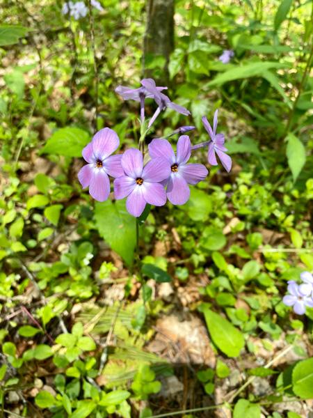 Purple wildflowers on Oconaluftee River Trail