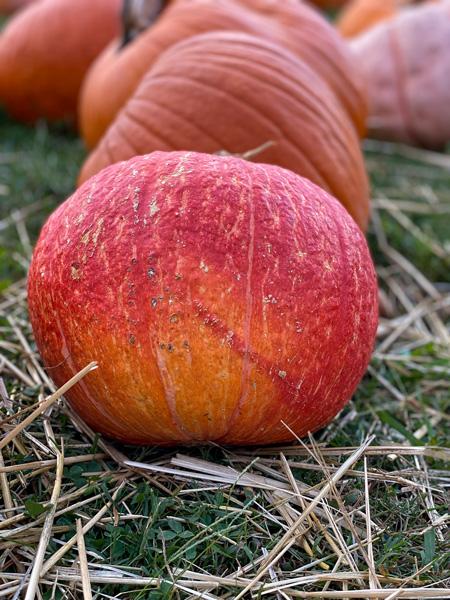 Pumpkin Patch in North Asheville NC with orange-red pumpkin